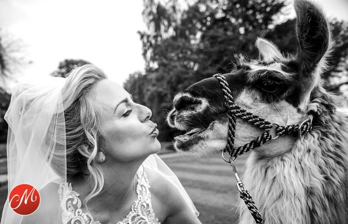 bride kissing a llama at her North Wales wedding